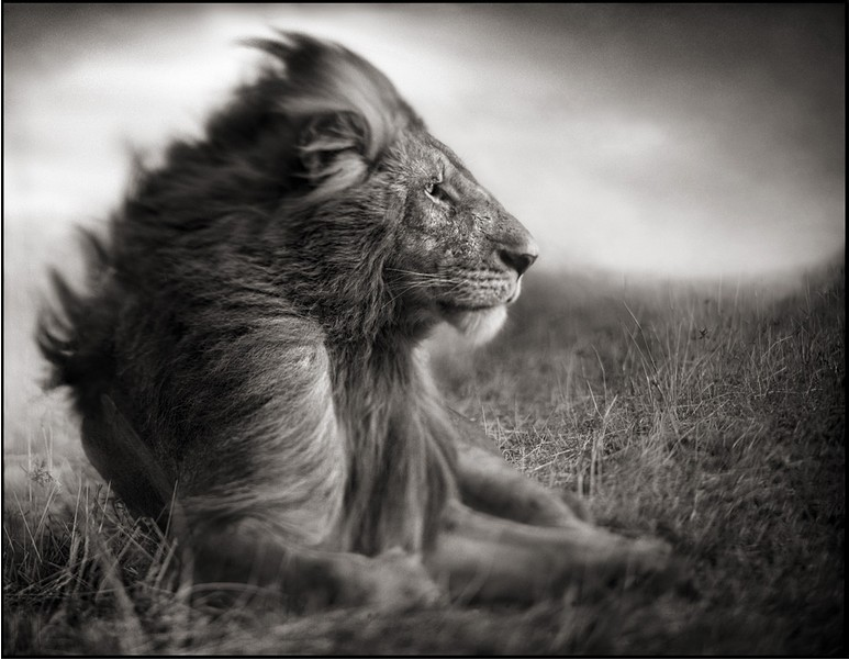 Nick Brandt's Lion Before Storm, Sitting Profile Masai Mara 2006