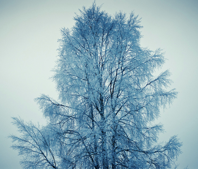 puu luminen Suomi tree winter