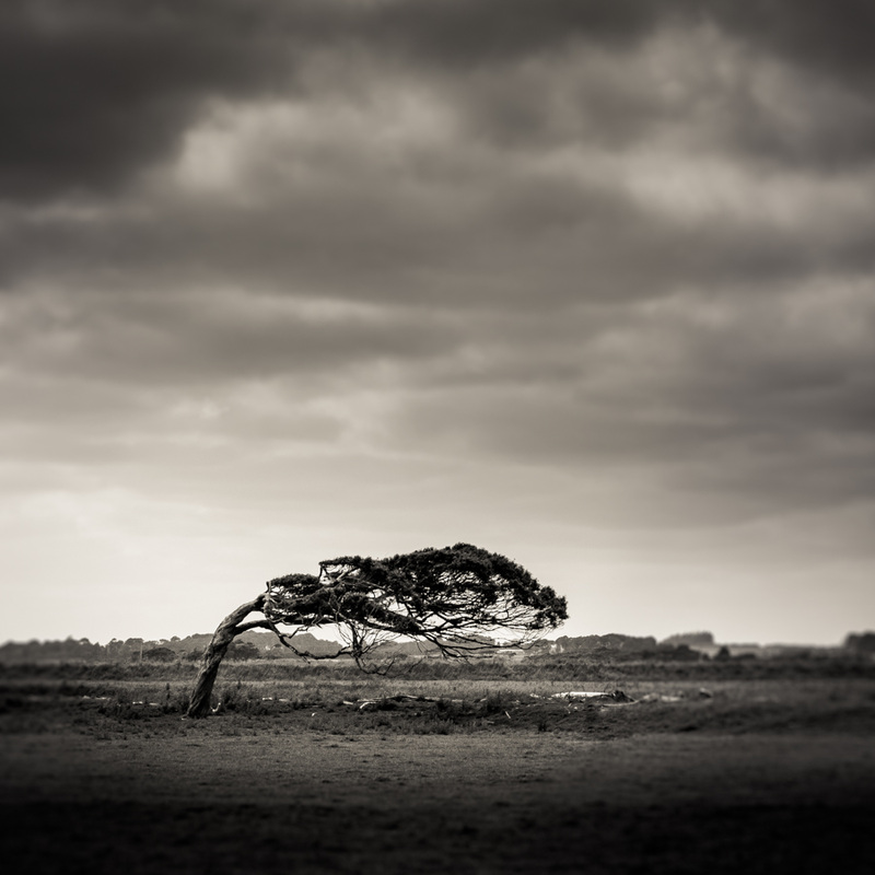 Sideways - a black & white fine art photography in square cropping from Southern New Zealand. Bent tree and a barren field, by Kimmo Savolainen Photography.