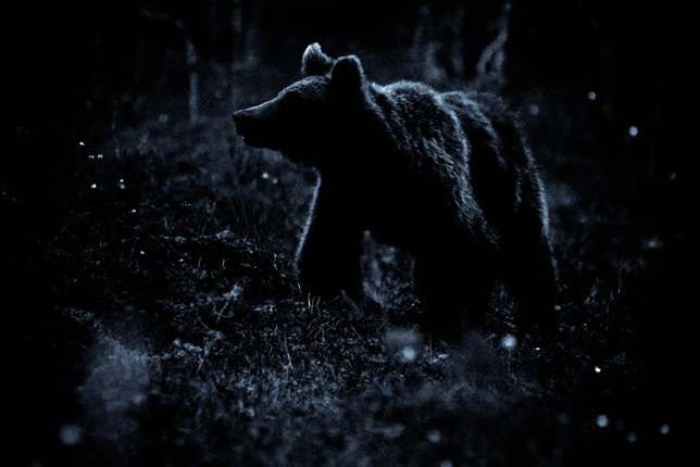 Wildlife Bear Finland